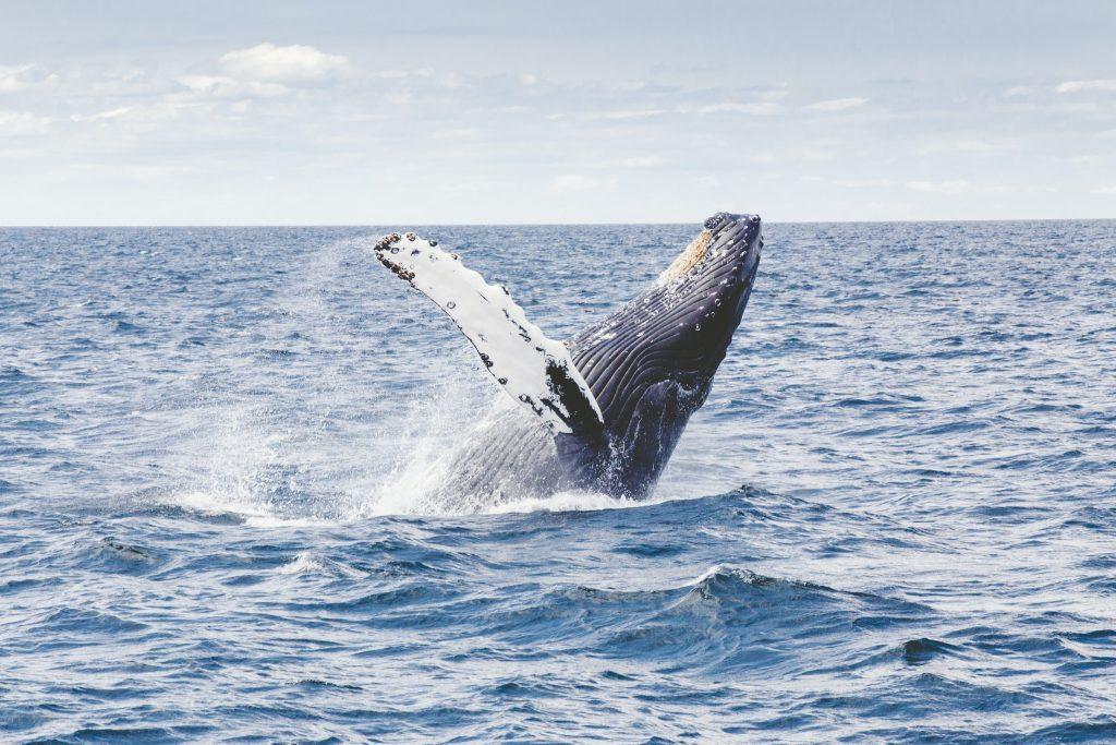 Humpback Whale in Boston